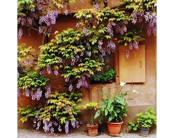 Fine Art Color Travel Photography of Wisteria on Home in Zellenberg France 4