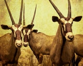 Animal Photography, Antelope, Animal Wall art, Woodland Safari wildlife photography, Fine art photograph