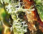 OAKMOSS SANDALWOOD - 4oz Unisex  Fragrance - Woody Chypre Fragrance Family/Main Accords; Woody, Aromatic, Fresh Spicy, Earthy, Citrus