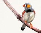 "Zebra Finch Print, Australian Bird Wall Decor, Wildlife Drawing, Art Postcard  4"" x 6"" ZF1"