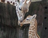 Baby Giraffe - 8 x 10
