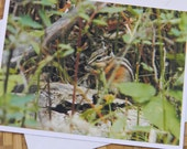 Snacking Chipmunk Photo Note Card - Wildlife Nature Photography Montana