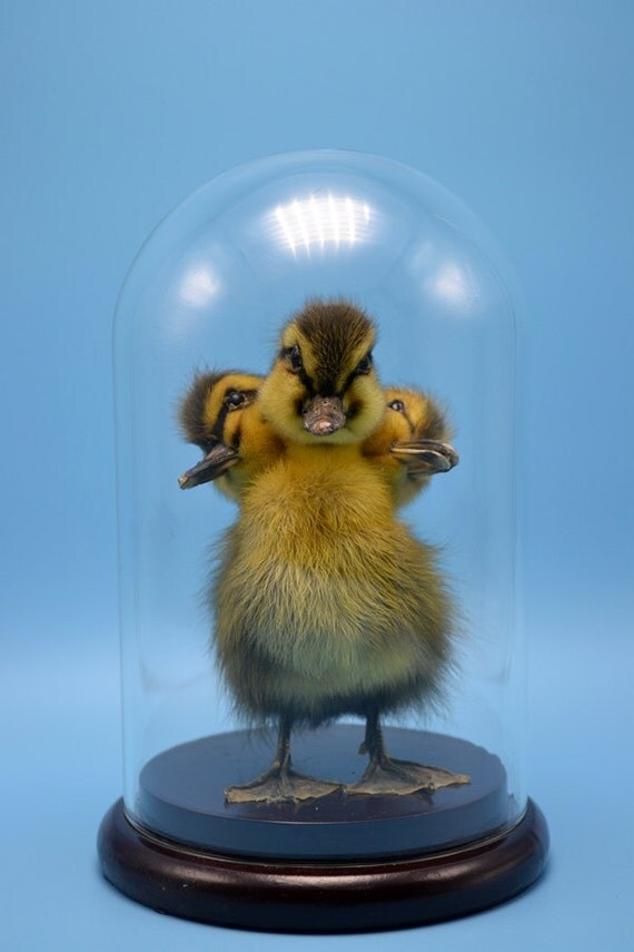 Duckling In Glass Dome