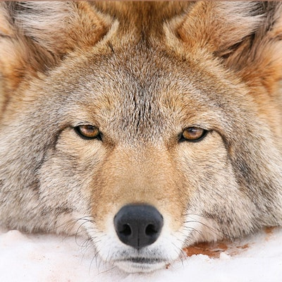 dailycoyote