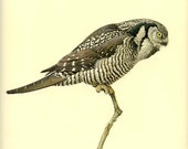 HAWK OWL - Vintage J. F. Lansdowne Book Plate 18 'Birds of the Northern Forest'