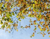 Botanic Art, Nature Photography, Autumn Leaves Print, Blue and Yellow Wall Art, Fall Decor, Under the Autumn Sky