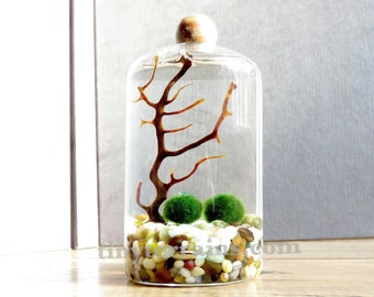 Marimo Terrarium - Small Slender Marimo Aquarium with Wood Ball,  Several Different Colors