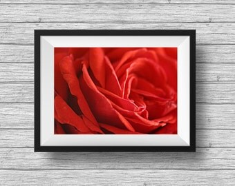 Red rose photo, flower botanical print, fine art photography, romantic rose petals, bedroom decor, flower bloom, macro photograph