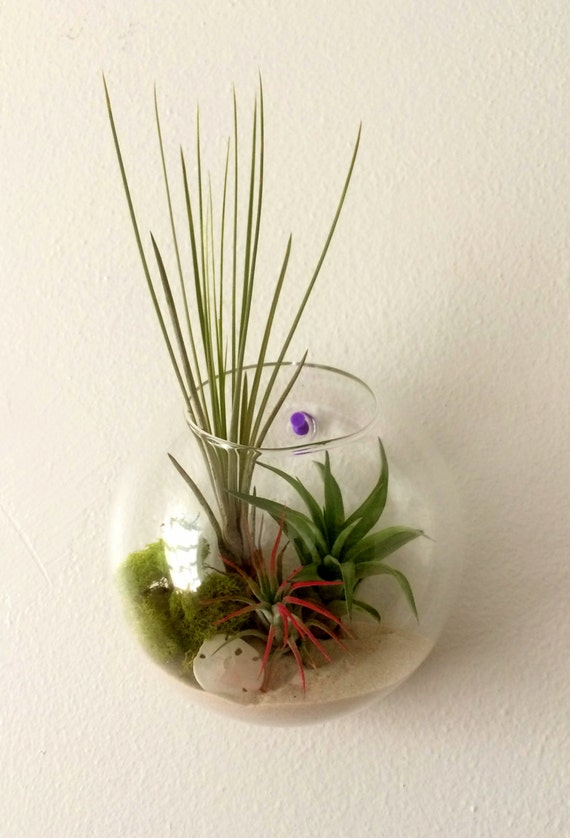 Air plant wall art hanging terrarium clear glass orb from for Air plant art