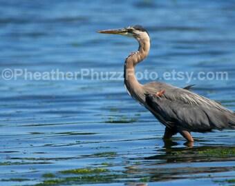 Great Blue Heron Wildlife Photography Fine Art Nature Print, Bird Photo, Pacific Northwest Home Decor, Wall Art