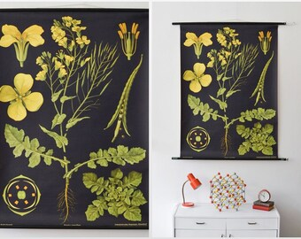 Canola flower chart, school poster, pull down poster, roll down poster, black print, educational poster