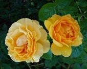 Double Yellow Roses, DIGITAL DOWNLOAD, rose decor, yellow rose decor, golds, tea rose decor, fine art photography