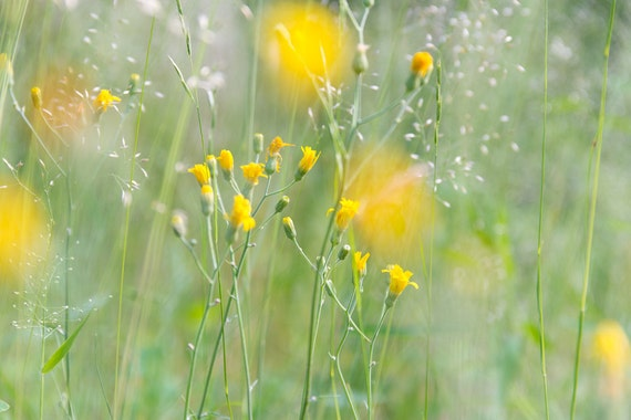 """Yellow flower photo - """"Yellow Hush"""" - yellow flowers on soft green, nature, blurred, bokeh, abstract, Rockefeller State Park"""