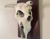 Vintage Taxidermy Mounted Deer Steer Skull Antlers