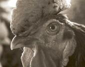 Casanova - Original Fine Art Photograph (farm kitchen, urban farmhouse, farm animals, rooster)