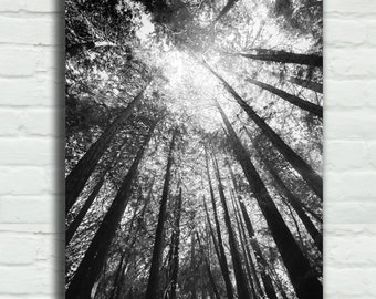 "Black and White Tree Canvas Art - redwood trees 16x24 gallery wrap nature photography 24x36 canvas wrap large tree art 8x12 - ""Black Rain"""
