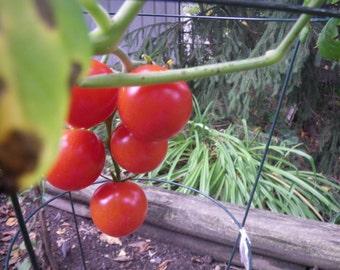 10 Campari Tomato Seeds