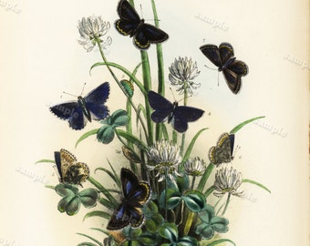1859 Antique Original  Natural History Hand Colored Print - Insects Butterflies  - Flora over 150 + years old - Sale item