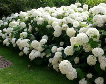 Annabelle Smooth Hydrangea arborescens - Live Plant - Trade Gallon Pot