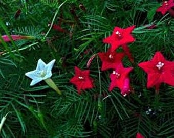 CYPRESS VINE SEEDS 5 Fresh seed ready to plant in your garden