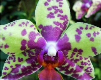 Orchid purple Green spots Rare Cymbidium Seeds , orchids seeds, rare orchids, code 270 , orchid collection, gardening, flower seeds