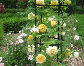 Climbing yellow roses,380,yellow rose,roses seeds,planting roses,growing roses from seeds