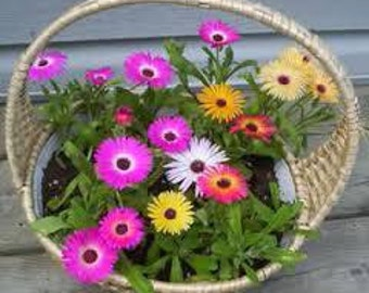 Livingstone Daisy mix,417,Dorotheanthus bellidiformis,gardening, flowers seeds, daisy seeds, spring flowers seeds
