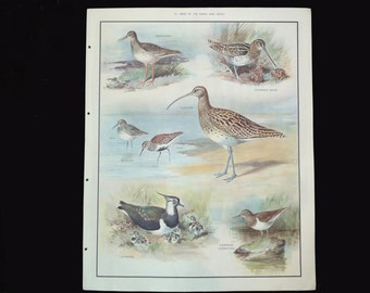 Mid Century Macmillans School Poster, Vintage Nature Print Birds of the Marsh and Heath,  Roland Green Educational Print, Natural History