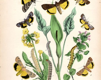1882 Antique Butterfly Print Kirby Moth Insect Botanical Natural History Entomology Butterfly Art Vintage Butterfly Print