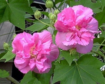 Confederate Rose, Rose Of Sharon, Live Hibiscus Syriacus Shrub, Plant Winners Pink Flowering Hardy Plants