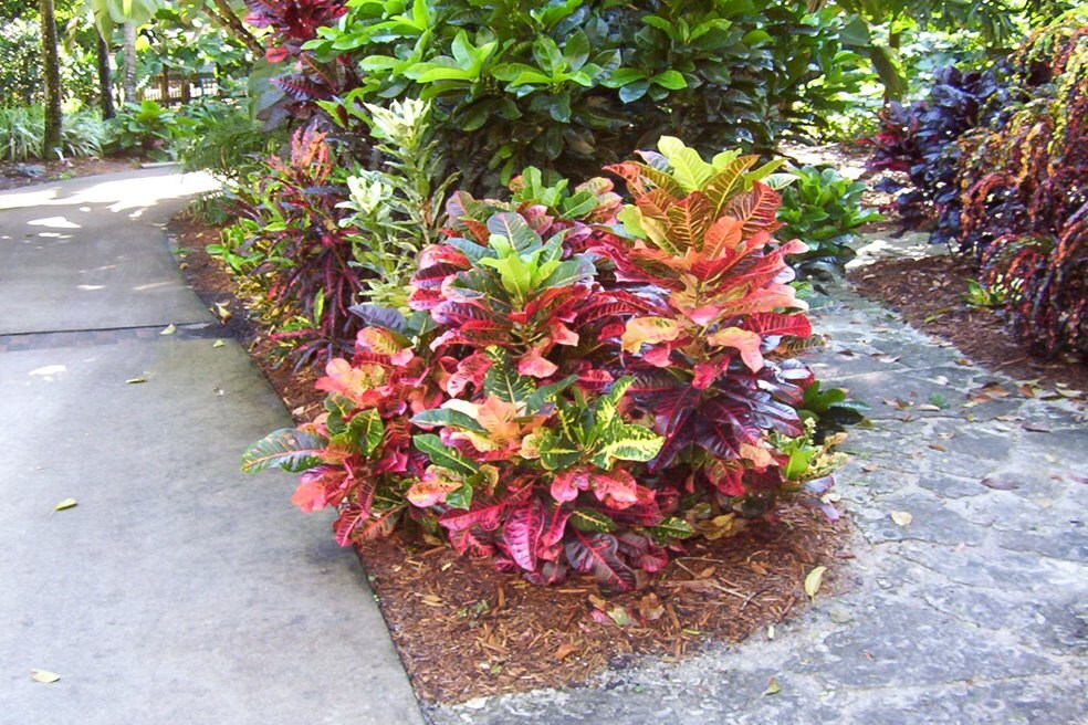 Multi color croton nervia plant large tropical houseplant plant a great multi color plant a - Indoor colorful plants ...