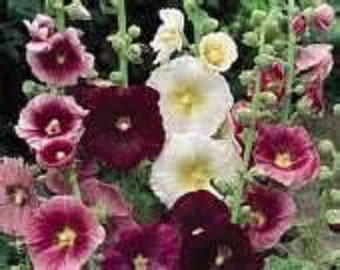Hollyhock - Indian Spring Mix - 50 Seeds