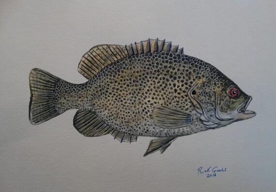Rock bass original watercolor fish painting fish artfish for Rock bass fish