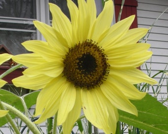 Sunflower Lemon Queen * The Brightest Yellow!! 100 Seeds