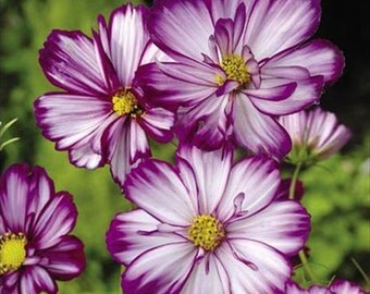 Cosmos Fizzy Rose Picotee * 15 Seeds