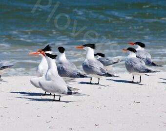 Royal Tern Photo // Bird Photo // Shorebird Photo // Florida Nature Tern Beach Photograph Print