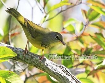 Mourning Warbler | Fall Bird Photography | Migrant Songbird | Avian Wall Art | Confusing Fall Warbler | Bird Print