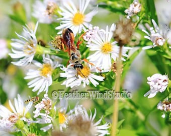 Great Golden Digger Wasp Photography Sweat Bee Photo White Aster Flowers Boys Girls Room Insect Flower Wall Art Bugs Wildflower Nature Print