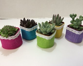 Succulent Plants. Assortment of 20 Shower or Bridal Favor Succulents with Glam Ribbon and White Lace.