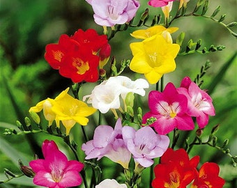 Mixed Single Freesia 15 Bulbs - Indoors/Out - Fragrant - 6/+ cm Bulbs