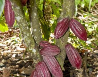 Cocoa Absolute Essential Oil (Theobroma Cacao) 100% Pure  (SEMI-SOLID)