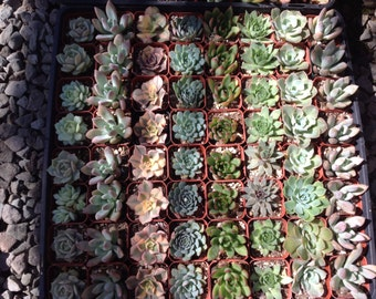 Succulent plant favors, this listing  is for 50  beautiful  succulents  in 2 inch pots. Great for weddings, parties or container gardens.