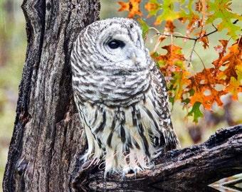 Barred Owl Digital Downloadable V1