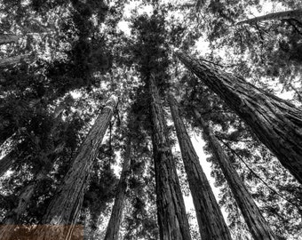 Redwoods, Black & White Nature Photography