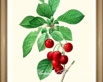 "Cherries Print. Botanical Prints. Cherries. Fruit Print. Botanical Print. Fruit Wall Art. 8x10"" 11x14"""