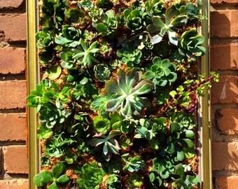Large living succulent frame