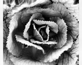 Black & White Cabbage Flower Photograph by Artist Fiona Hueston