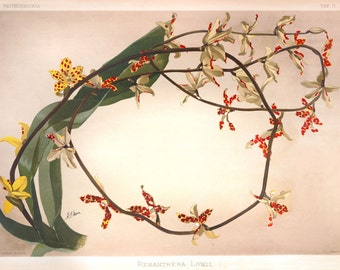 Dimorphorcis lowii. (syn Renanthera lowii) Victorian orchid print botanical illustration reproduction