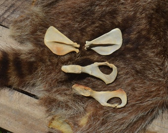 Raccoon bones, set of two scapulas and one pelvis