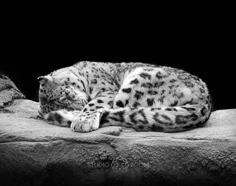 Snow Leopard Fine Art Print Cute Sleeping Big Cat Exotic